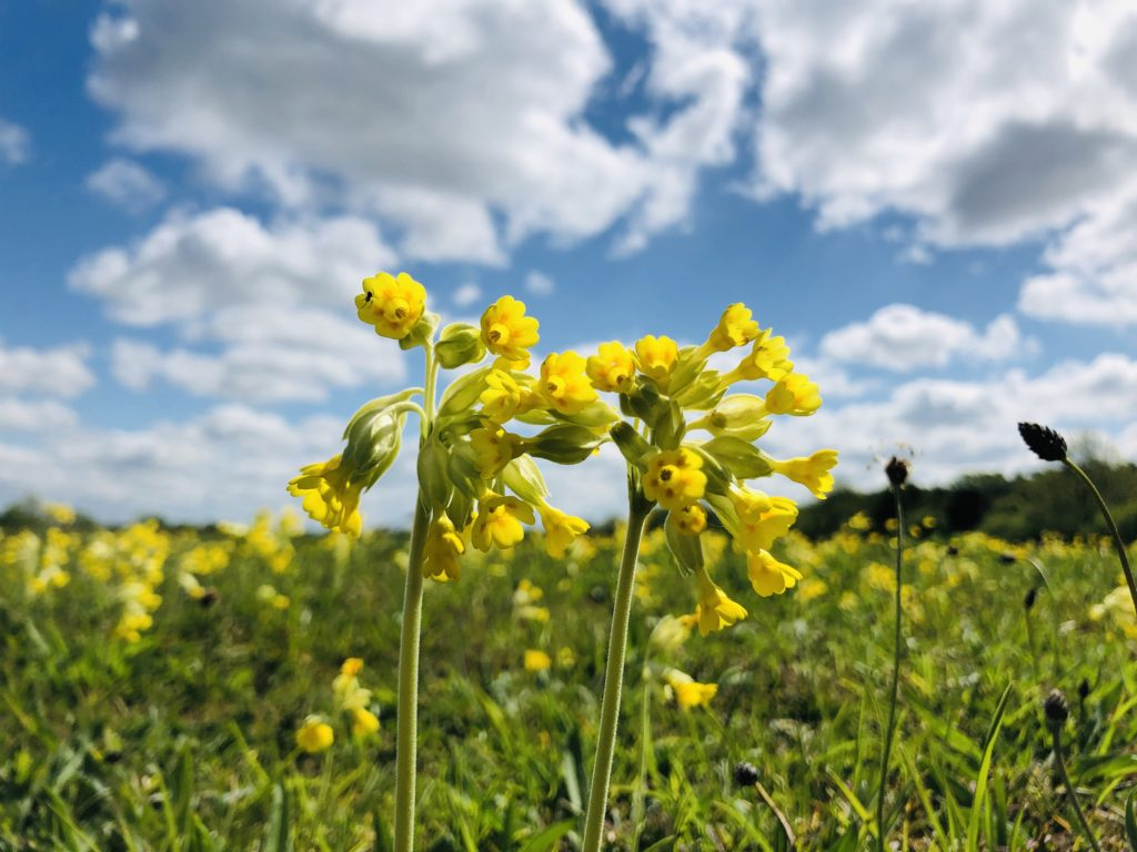 Cowslips at Weekley Hall Wood and Wildflower Meadow